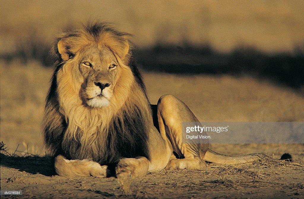 Kalahari Lion (Panthera leo) : Stock Photo
