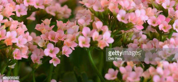 Kalanchoe in bloom