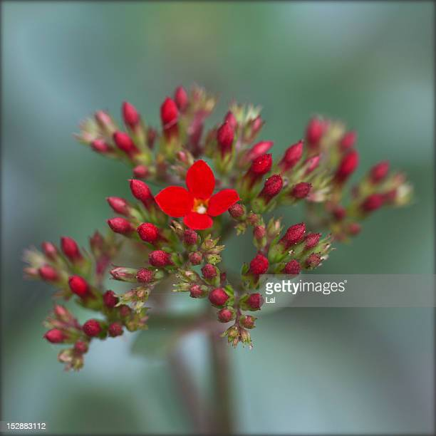 Kalanchoe red flower