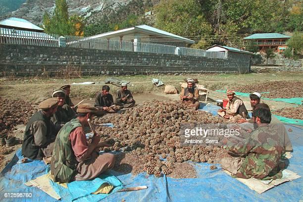 Kalash men pick up fir cones to sell them Photo by Antoine Serra/Corbis Sygma | Location Bumboret Pakistan