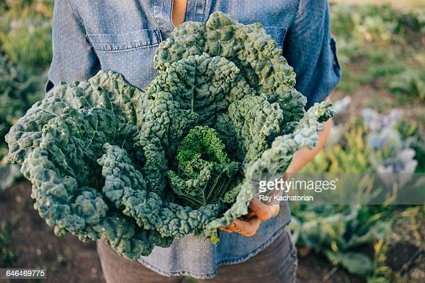 kale bunch - kale stock photos and pictures