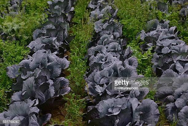 kale cabbage field, close up - emreturanphoto stockfoto's en -beelden