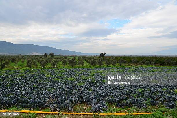 kale cabbage field with irrigation pipe - emreturanphoto bildbanksfoton och bilder