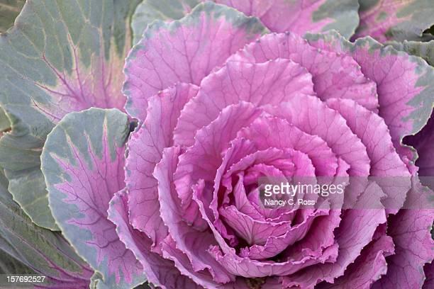 Kale, Cabbage, Garden, Purple, Green, Close-up, Flower, Vegetable, Food