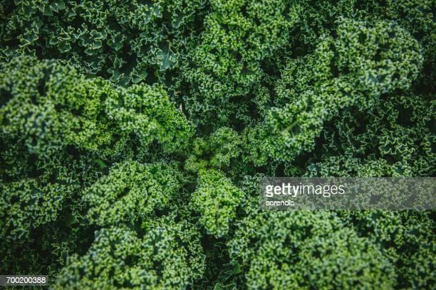 Grünkohl Gemüse