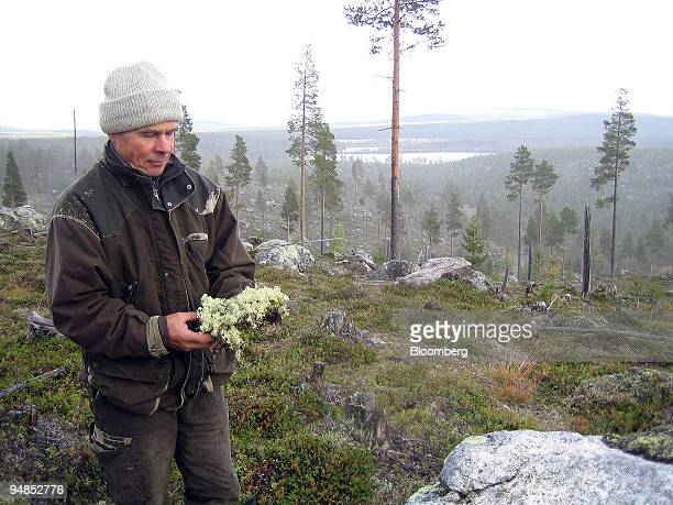 Kalevi Paadar holds ground lichen the main winter sustenance for reindeers in the Finnish section of the Sapmi near the Arctic Circle Finland on...