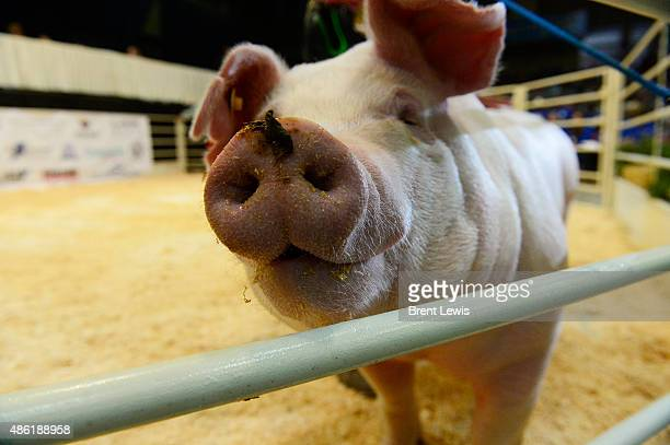 Kaley Pieper's Champion Chester White and Landrace pig makes its way around the ring during bidding September 1 2015 at the Colorado State...