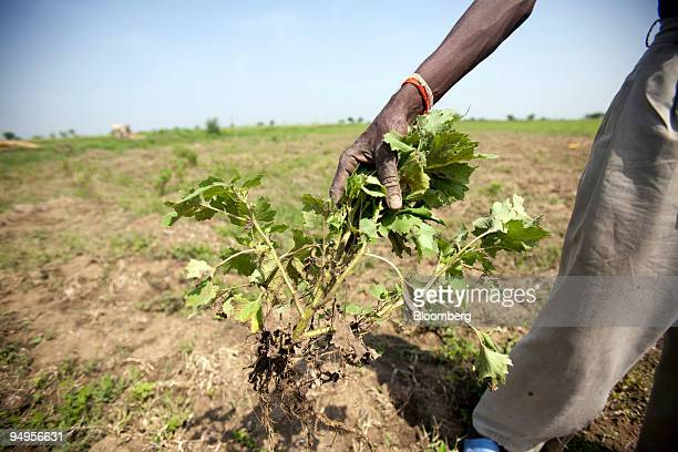 Kalicharan Gaikwad a farmer weeds his farm in the drought affected area of Laundi India on Saturday Sept 12 2009 Rainfall this year may be 15to20...