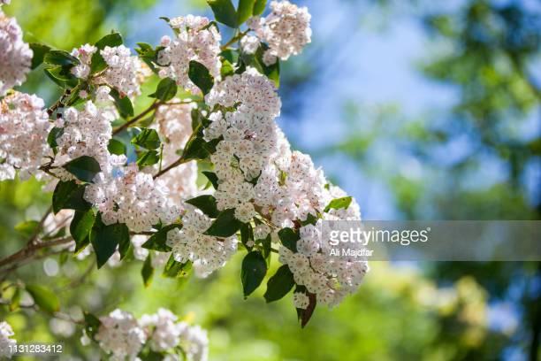 kalmia latifolia - mountain laurel stock pictures, royalty-free photos & images