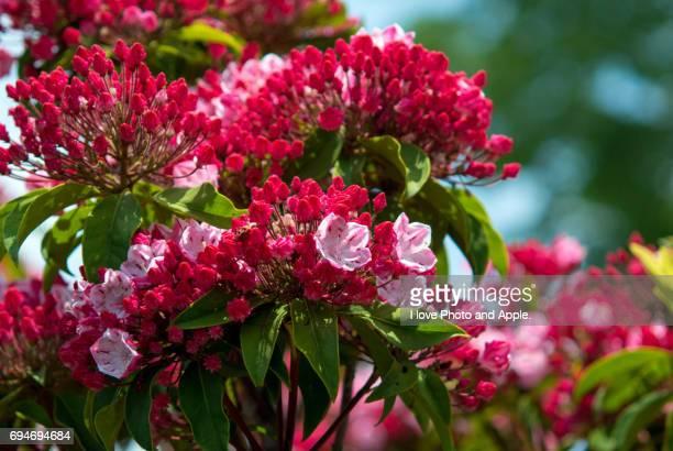 kalmia - mountain laurel stock pictures, royalty-free photos & images