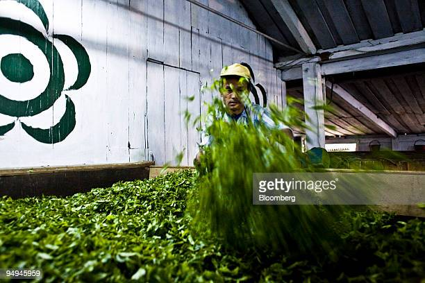 Kamal Subba a 46 year old factory worker spreads the first flush tea leaves during the withering process at the Makaibari Tea estate in Darjeeling...