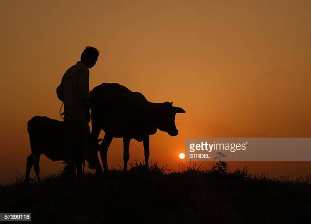 An Indian farmer returns home with his cattle in the village of Kamalasagar some 45 km from Agartala 22 April 2006 close to the border witn...