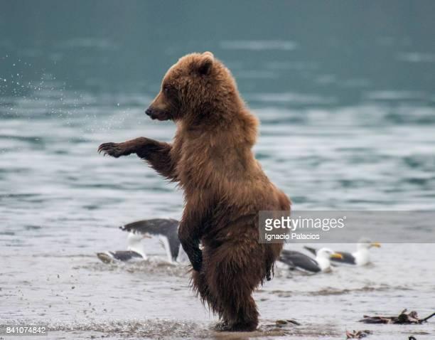 kamchatka brown bear (ursus arctos beringianus) and cubs, kuril lake, kamchatka peninsula - ours brun photos et images de collection