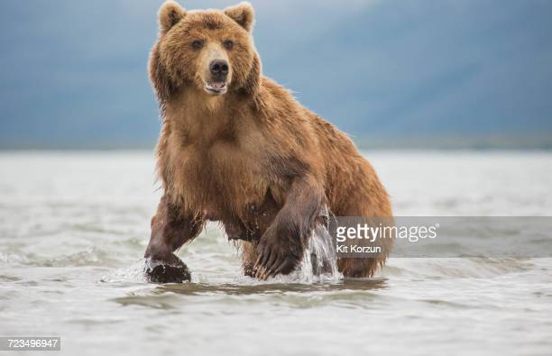 kamchatka brown bear in a lake, kurile lake, kamchatka peninsula, russia - ours brun photos et images de collection
