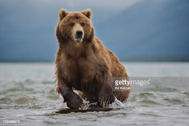 kamchatka brown bear in lake, kurile lake, kamchatka peninsula, russia - orso bruno foto e immagini stock