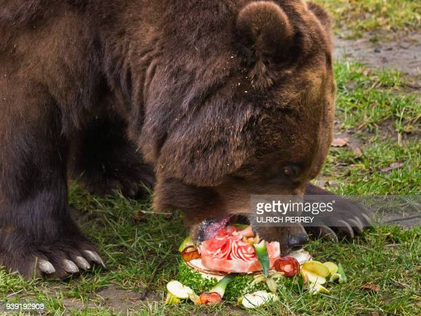 Kamchatka brown bear Leonid feeds on a cake made of fruits rice and banana bread for his 11th birthday at the Hagenbeck zoological garden in Hamburg...