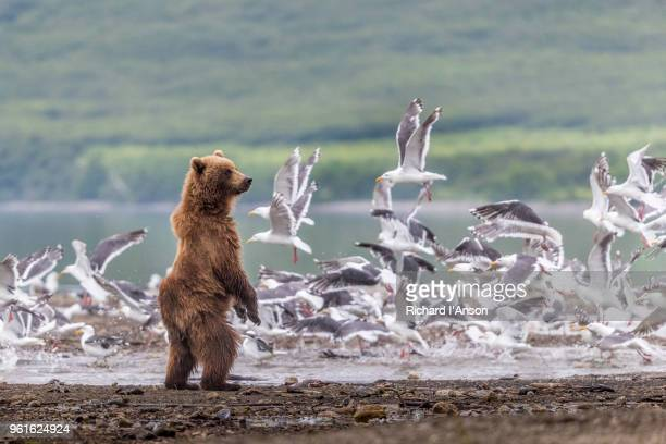 kamchatka brown bear (ursus arctos beringianus) standing and seagulls at kuril lake - säugetier stock-fotos und bilder