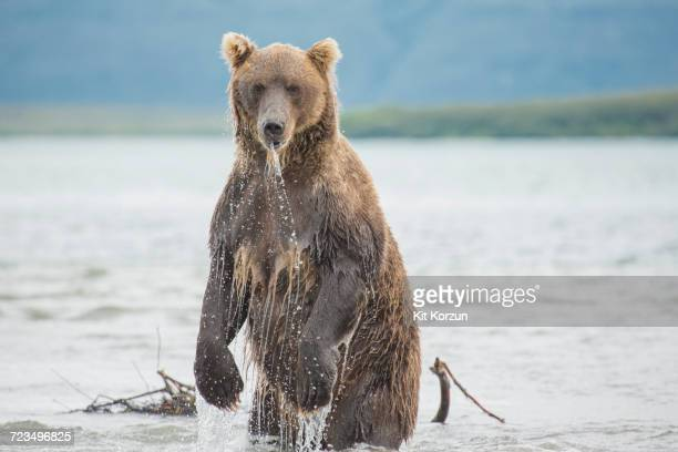 kamchatka brown bear standing in lake, kurile lake, kamchatka peninsula, russia - ours brun photos et images de collection