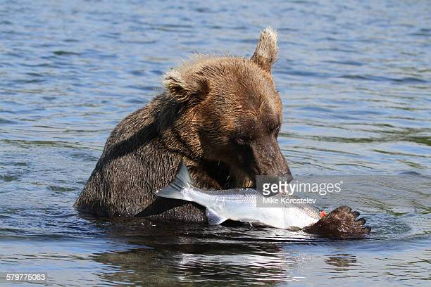 Kamchatka brown bear with a red salmon