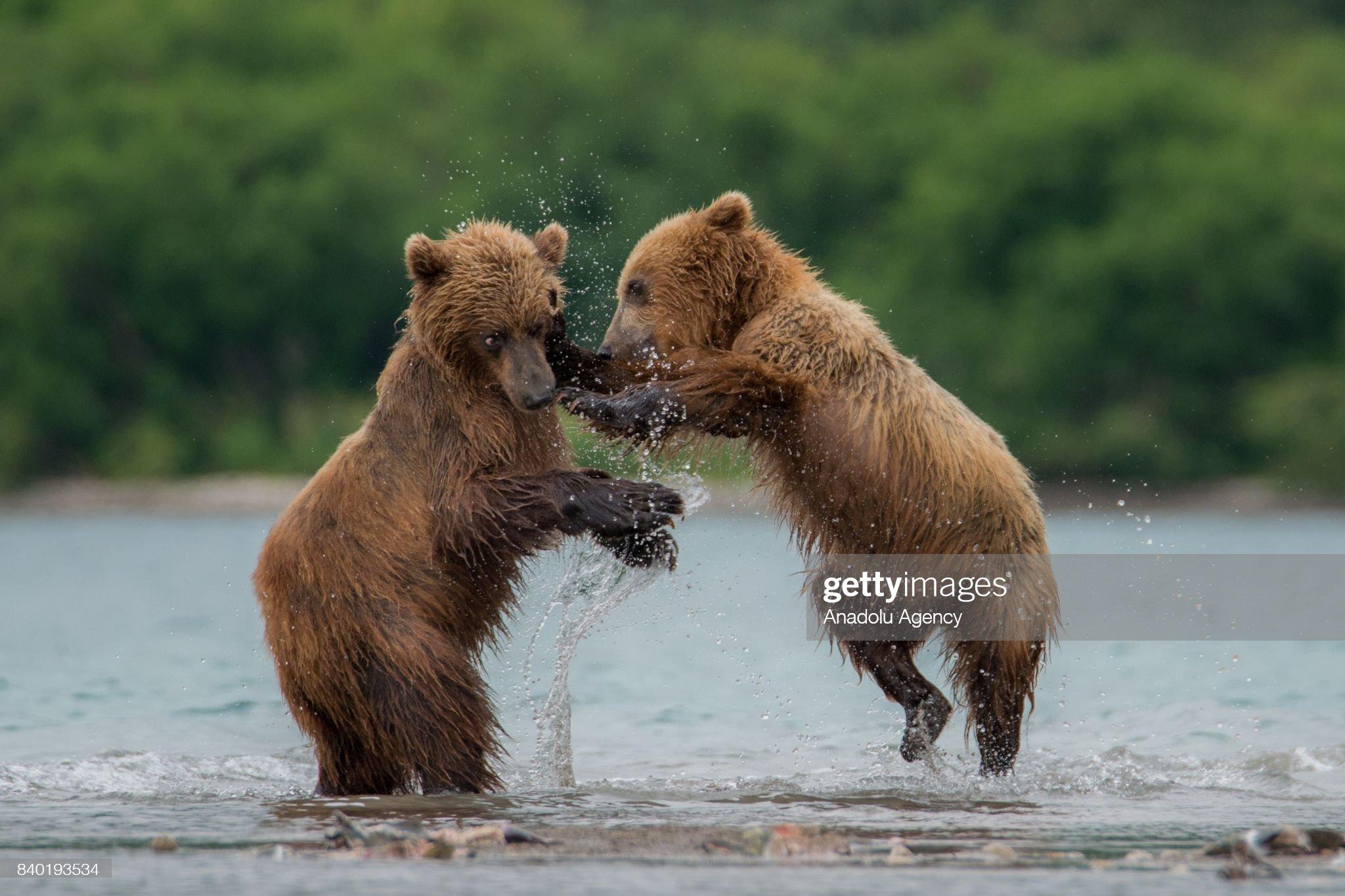 Kamchatka's brown bear life in Kamchatka : Foto di attualità