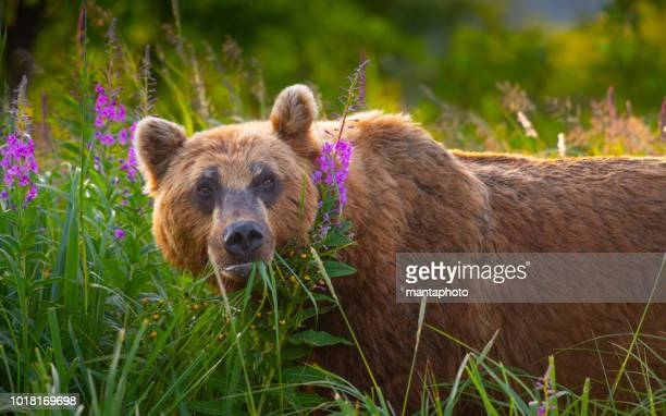 kamchatka brown bears - blue bear stock photos and pictures