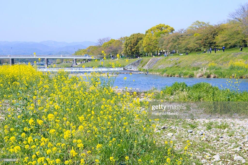 Kamo River in Springtime : Stock Photo