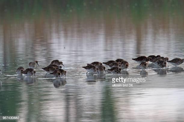 Kampflaeufer Gruppe in Wasser stehend fressend