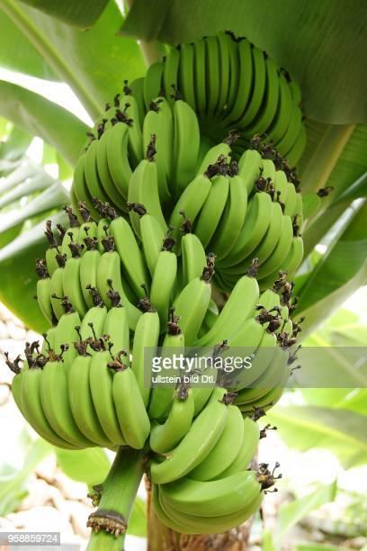 Kanaren - Bananenstauden auf La Gomera