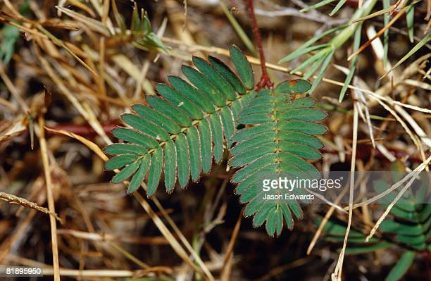 a leaves of mimosa pudica a native of central and south america. - king cobra stock photos and pictures