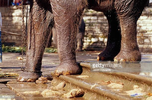 A freshly washed endangered Sri Lankan elephant on wet stairs.