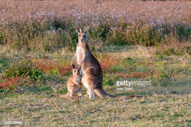 kangaroo and baby - marsupial imagens e fotografias de stock