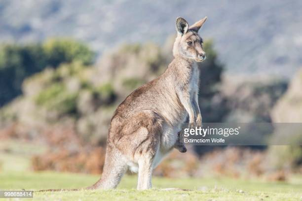 Kangaroo and its cub