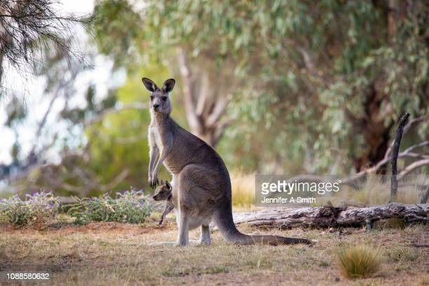 kangaroo and joey - marsupial imagens e fotografias de stock