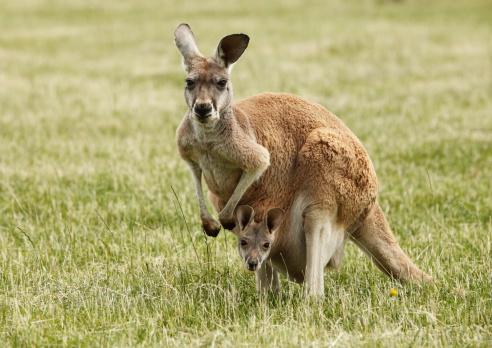 Kangaroo and Joey 183360956