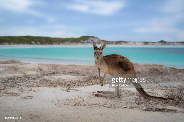 kangaroo at lucky bay in the cape le grand national park near esperance, western australia, australia. - national park stock pictures, royalty-free photos & images