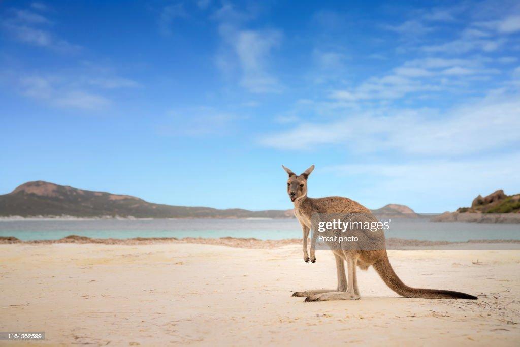 Kangaroo at Lucky Bay in the Cape Le Grand National Park near Esperance, Western Australia, Australia. : Stock Photo