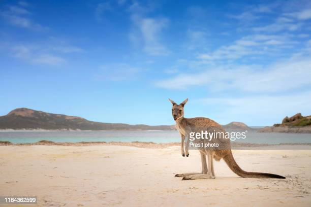 kangaroo at lucky bay in the cape le grand national park near esperance, western australia, australia. - australia stock pictures, royalty-free photos & images