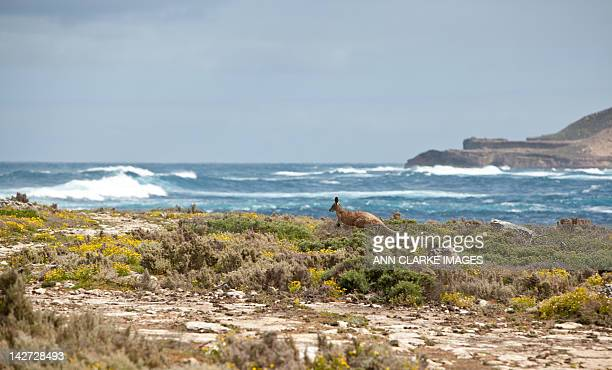 kangaroo at sea - south australia stock photos and pictures