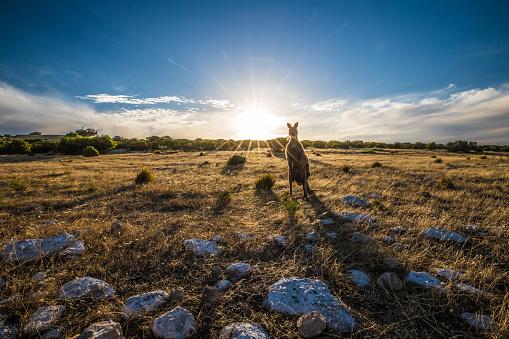Kangaroo at Sunset 1153041449