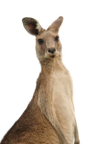 Kangaroo at sunset 174665669