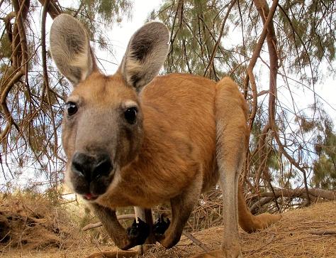 kangaroo, australia 1007535618