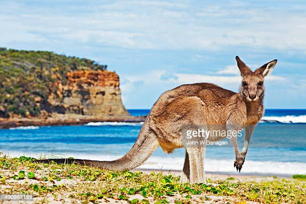 kangaroo by the sea - new south wales stock pictures, royalty-free photos & images