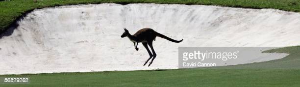 A kangaroo crosses the fairway on the 8th hole during the final round of the Johnnie Walker Classic held at The Vines Resort February 12 2006 in...