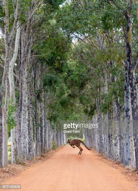 Kangaroo crossing dirt orad.