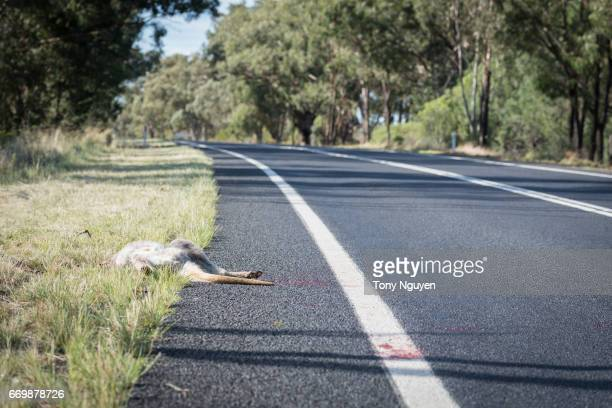 kangaroo dead on the rural road in australia. - kangaroo stock pictures, royalty-free photos & images