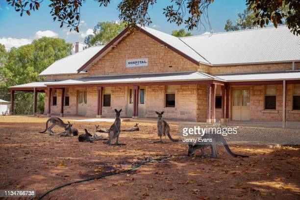 A kangaroo drinks from a hose at Wilcannia Hospital on March 04 2019 in Wilcannia Australia The Barkandji people meaning the river people live in...