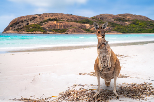 Kangaroo family, mother and baby in bag at Lucky Bay in the Cape Le Grand 1142608453