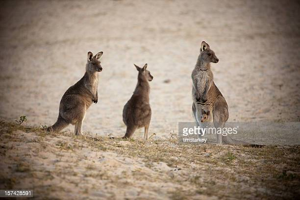 kangaroo family - batemans bay stock pictures, royalty-free photos & images