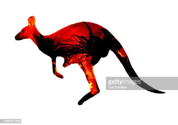 kangaroo fire - australia fire stock pictures, royalty-free photos & images