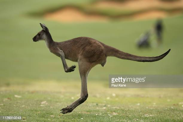 A kangaroo hops across the 9th fairway during the ProAm of the ISPS Handa World Super 6 Perth at Lake Karrinyup Country Club on February 13 2019 in...